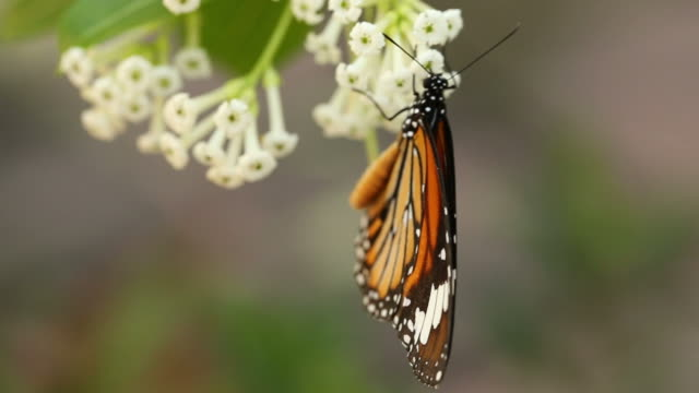 beautiful butterfly absorb some sweet from  flowers - porous stock videos & royalty-free footage