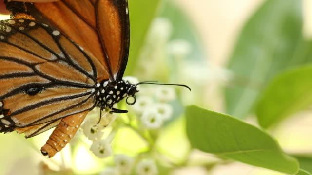 stockvideo's en b-roll-footage met prachtige vlinder absorberen sommige zoete van bloemen - poreus