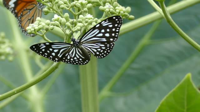 beautiful butterfly absorb some sweet from  flowers - farfalla video stock e b–roll