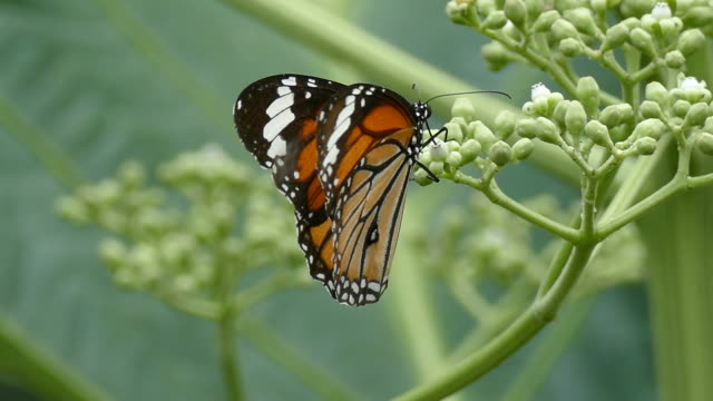 beautiful butterfly absorb some sweet from flowers - impollinazione video stock e b–roll