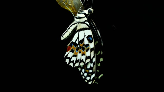vidéos et rushes de beau fond noir de papillon - cocon