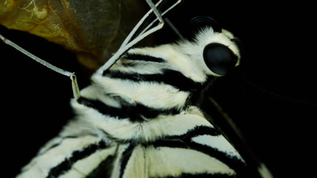 beautiful butterfly close-up black background - chrysalis butterfly ball video stock e b–roll