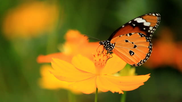 beautiful butterfly drinking nectar - butterfly garden stock videos & royalty-free footage