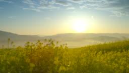 Beautiful canola field at sunrise (4K)
