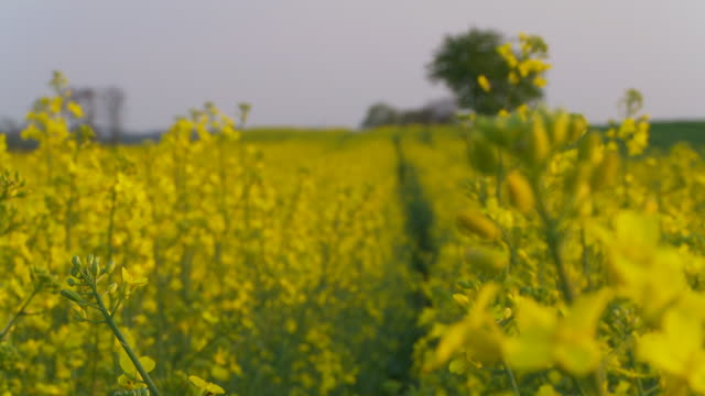 stockvideo's en b-roll-footage met hd dolly: beautiful canola field - scherpte verlegging