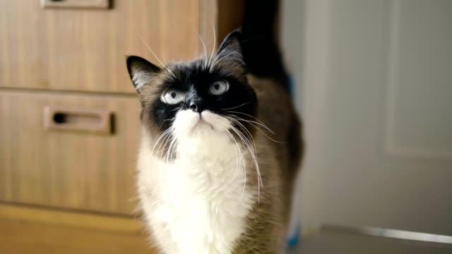 美しい猫を自宅 - 動物の頭点の映像素材/bロール