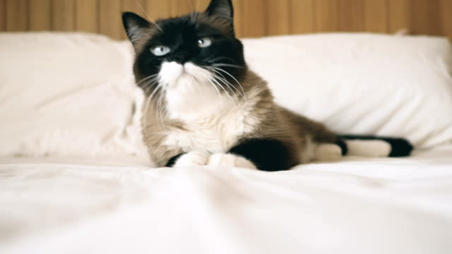 beautiful cat at home - undomesticated cat stock videos & royalty-free footage