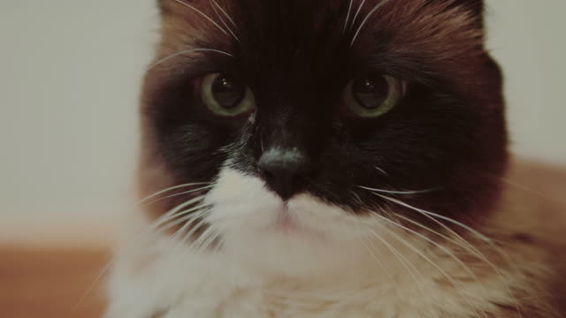 beautiful cat at home - animal hair stock videos & royalty-free footage