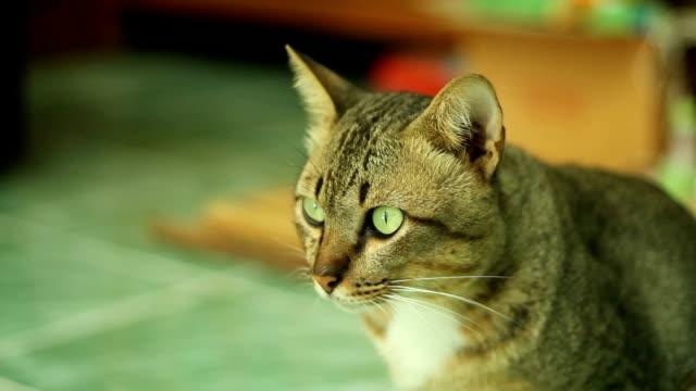 美しい猫 - ショートヘア種の猫点の映像素材/bロール