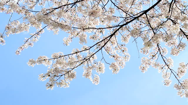 beautiful cherry blossom against blue sky. Flower petals fall with gentle wind.