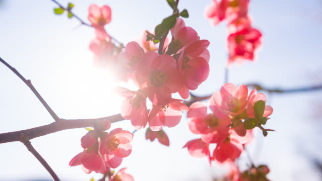 vídeos y material grabado en eventos de stock de hermosas flores de cerezo iluminadas por la luz del sol - brightly lit