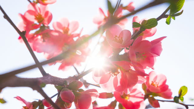 vídeos de stock, filmes e b-roll de lindas flores de cerejeira iluminadas pela luz solar - brightly lit