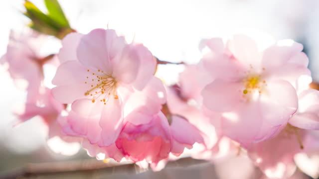 vídeos de stock e filmes b-roll de beautiful cherry blossom flowers illuminated by sunlight - prunus taihaku