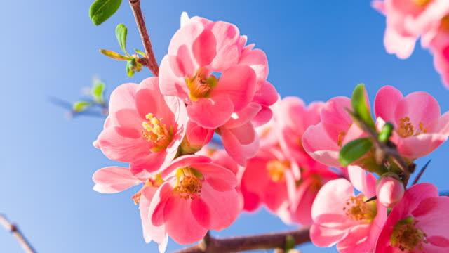 太陽の光に照らされた澄んだ空の背景に美しい桜の花 - 太白桜点の映像素材/bロール