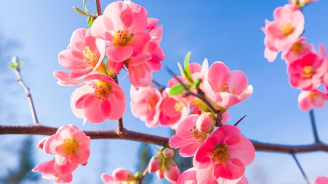 vídeos de stock, filmes e b-roll de belas flores de cerejeira em um fundo de céu claro iluminado pela luz solar - brightly lit