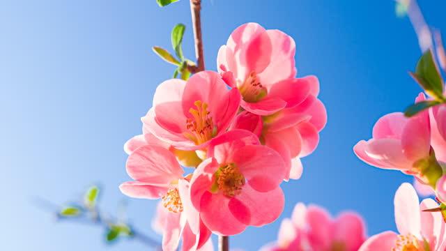 vidéos et rushes de belles fleurs de fleur de cerise sur un fond clair de ciel illuminé par la lumière du soleil - ensoleillé