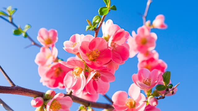 vídeos de stock e filmes b-roll de beautiful cherry blossom flowers on a clear sky background illuminated by sunlight - brightly lit