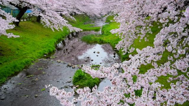 beautiful cherry blossom sakura  at tachikawa park in tokyo japan - kanto region stock videos and b-roll footage