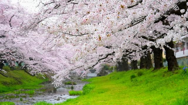 vídeos de stock, filmes e b-roll de bela flor de cerejeira sakura em tachikawa park em tóquio no japão - flor de cerejeira