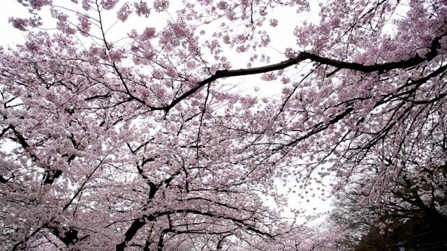 beautiful cherry blossom sakura at ueno park - blossom stock videos & royalty-free footage
