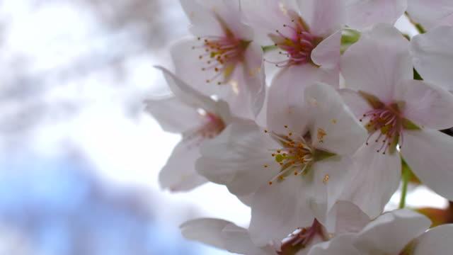 桜さくら - 桜の花点の映像素材/bロール
