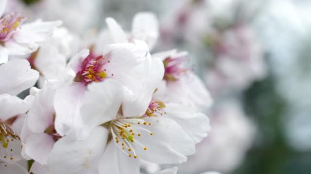 Prachtige kersenbloesem Sakura