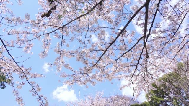 vídeos de stock e filmes b-roll de beautiful cherry tree in bloom on a sunny day - prunus taihaku