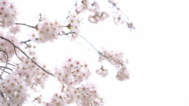 晴れた日に咲く美しい桜 - 太白桜点の映像素材/bロール