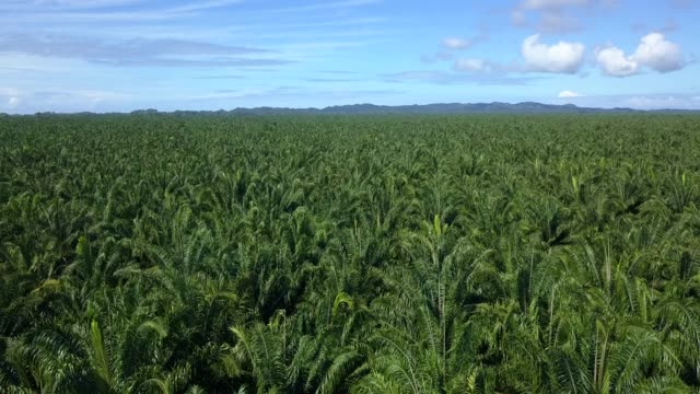 beautiful cinematic aerial view of african palma trees plantations in costa rica - provinz puntarenas stock-videos und b-roll-filmmaterial