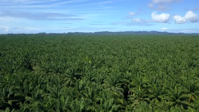 vídeos de stock e filmes b-roll de beautiful cinematic aerial view of african palma trees plantations in costa rica - palmeira