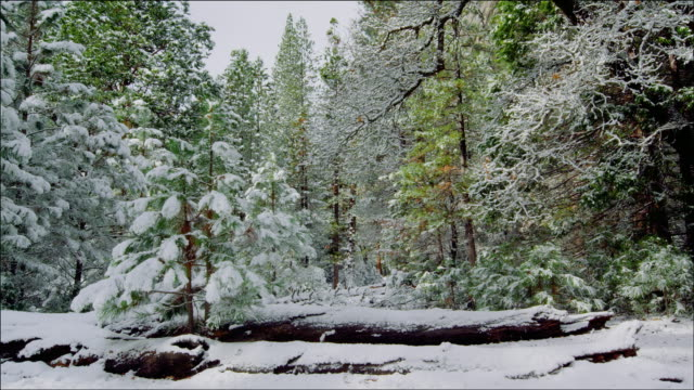 beautiful clearing in snow covered forest, yosemite national park - マツ科点の映像素材/bロール