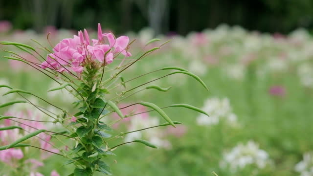 beautiful cleome spinosa jacq flower or spider flower - spider flower stock videos & royalty-free footage