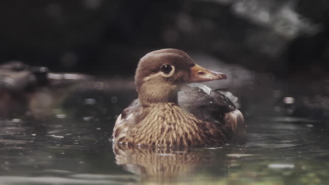 beautiful close-up 4k video of swimming duck in profile view - small stock videos & royalty-free footage