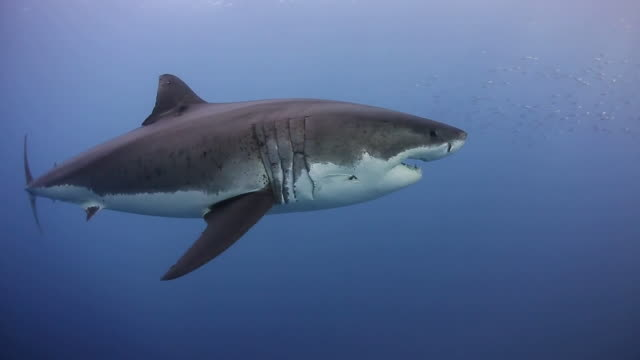 Beautiful Close-Up of Great White Shark- Full Body