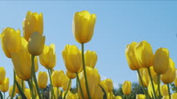 Beautiful colorful yellow tulips flowers bloom