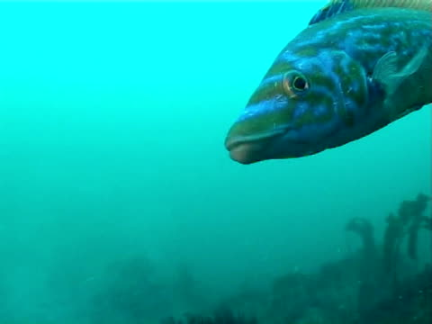 beautiful colours of male cuckoo wrasse swims to diver,  green blue water, ms - cuckoo wrasse stock videos & royalty-free footage