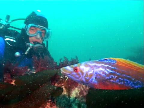 vídeos de stock, filmes e b-roll de beautiful colours of male cuckoo wrasse swims to diver,  green blue water, ms - cuckoo wrasse