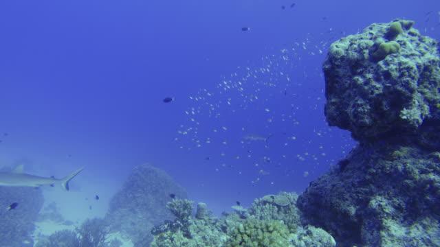 beautiful coral and swimming sharks - 多数の動物点の映像素材/bロール