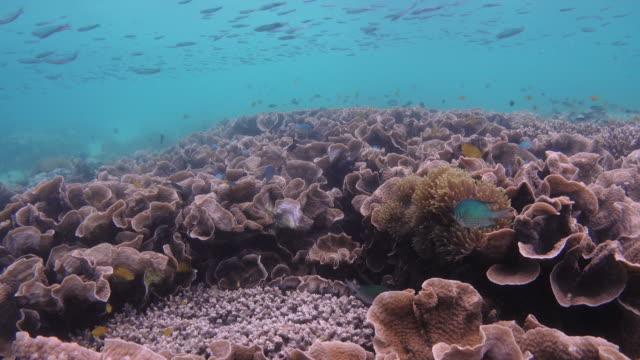 vídeos de stock, filmes e b-roll de linda de recifes de corais na ilha lord loughbolough ou dragão do mar, myanmar - coral cnidário
