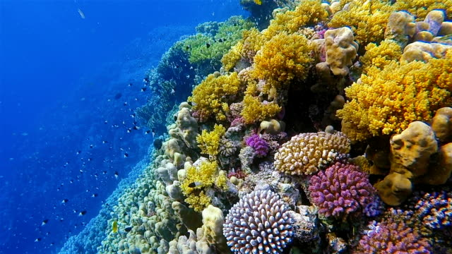 Beautiful coral reef with lot of Chromis dimidata on Red Sea nearby Marsa Alam