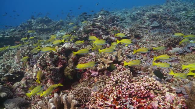 MS Beautiful coral reef with yellow fish / Layang Layang, Sabah, Malaysia
