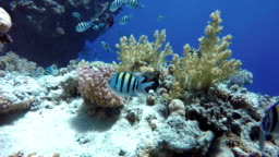 Beautiful corals. Underwater life in the ocean. Tropical fish.