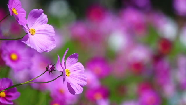 vídeos de stock e filmes b-roll de beautiful cosmos flower blooming in the field. - desvanecido efeito de imagem