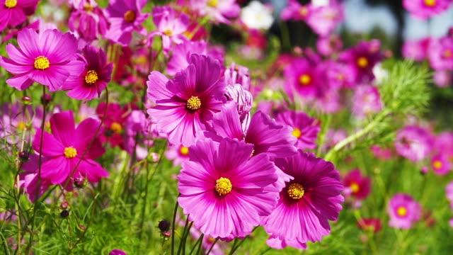 vídeos de stock, filmes e b-roll de flor bonita do cosmos que floresce no campo. - foco difuso