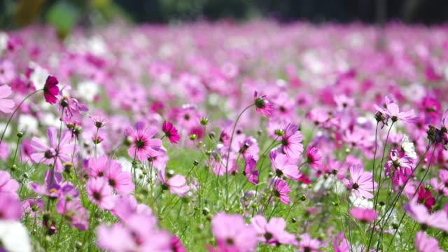 美しいコスモスの花が咲く野原。 - パステルカラー点の映像素材/bロール
