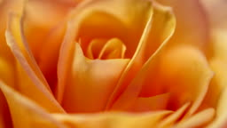 Beautiful cream yellow pink Rose background. Blooming rose flower open, time lapse, closeup. Wedding backdrop, Valentine's Day concept. 4K, video timelapse