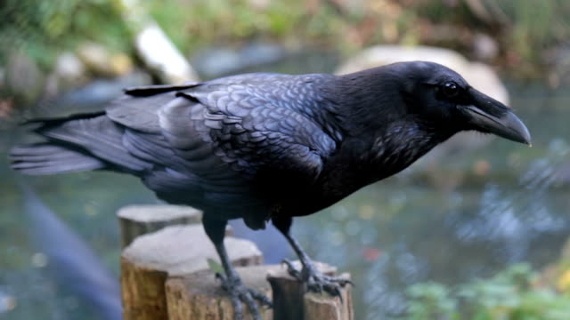 a beautiful crow - raven stock videos & royalty-free footage