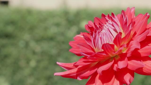 beautiful dahlia flower in dolly motion - ダリア点の映像素材/bロール