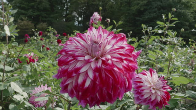 Beautiful Dahlia flower in dolly motion