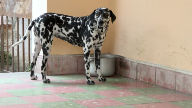 beautiful dalmatian dog pet in the porch of an old house - dalmatian dog stock videos and b-roll footage